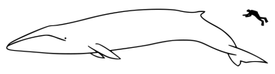 754px-Fin_whale_size.svg